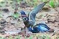 Rapace faucon attaquant un pigeon.jpg