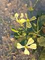 Raphanus raphanistrum (subsp. raphanistrum) sl7.jpg