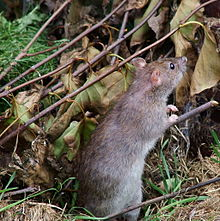 Gray-brown rat standing