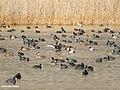 Red-crested Pochard (Netta rufina), Common Pochard (Aythya ferina), Mallard (Anas platyrhynchos), Eurasian Wigeon (Anas penelope), Gadwall (Anas strepera) & Eurasian Coot (Fulica atra) (32340249388).jpg