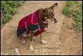 Red Dog waiting for breakfast at Cockburn-1 (20984381994).jpg