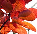 Red Leaves 2 (6447228081).jpg