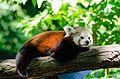 Red Panda (20259671402).jpg
