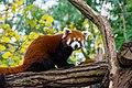 Red Panda (26773575239).jpg