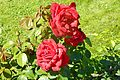 Red Rose flowers 24.jpg