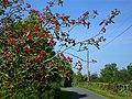 Red berry tree at Magheradartin - geograph.org.uk - 1484708.jpg