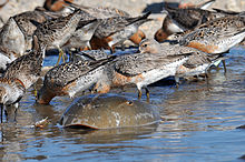 Large numbers of brown, white and reddish birds dip their heads into shallow water behind the carapace of a large crab-like creature