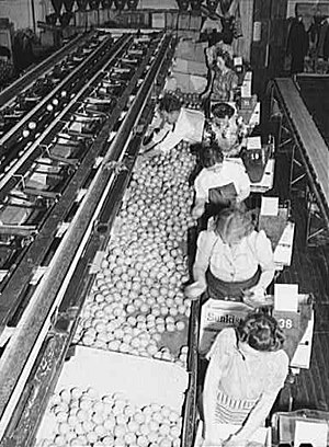Sunkist Growers, Incorporated - Women packing oranges at the Sunkist packing plant, Redlands, California, 1943
