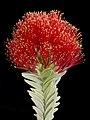 Regelia velutina - Flickr - Kevin Thiele.jpg