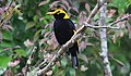Regent Bowerbird (Sericulus chrysocephalus) (31010121600).jpg