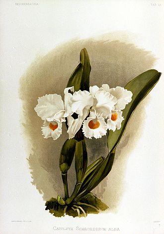 Cattleya schroederae - Image: Reichenbachia III plate 17 page 37 Cattleya schroederae