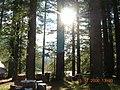 Relict sequoia - panoramio.jpg