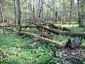 Rezerwat ścisły w Puszczy Białowieskiej 7 (Nemo5576).jpg