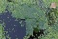 Rhamphospora nymphaeae on Nymphaea sp. cult. (45339081001).jpg