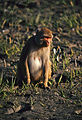 Rhesus Macaque (Macaca mulatta) female (20101071939).jpg