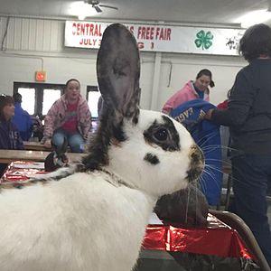 Rhinelander rabbit - This  is a picture of a Rhinelander's head markings, taken by Christa Deines.