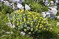 Rhodiola rosea 07.jpg