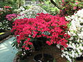 Rhododendron 'Euratom' 05.JPG