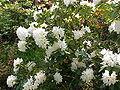Rhododendron campanulatum4.jpg