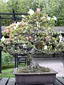 Rhododendron indicum 01b by Line1.jpg