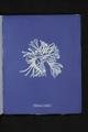 Rhodomenia sobolifera (NYPL b11861683-419572).tiff