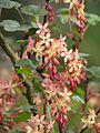 Ribes x beatonii (13620883904).jpg