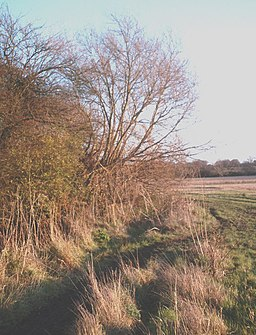 River Roach willows - geograph.org.uk - 1076915