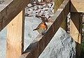 Robin (33666741021).jpg
