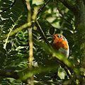 Robin (9700221214).jpg