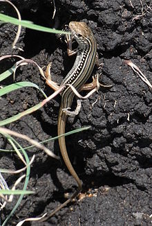 Robust Striped Skink.JPG