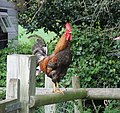 Rooster on a footpath fence in Claverley, Shropshire, England..jpg