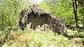Root bole, Lime tree, Dundonald Woods, South Ayrshire.jpg