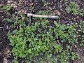 Rorippa sylvestris spring foliage 02.JPG