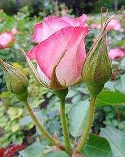 Rosa 'Cherry Parfait' 2.jpg