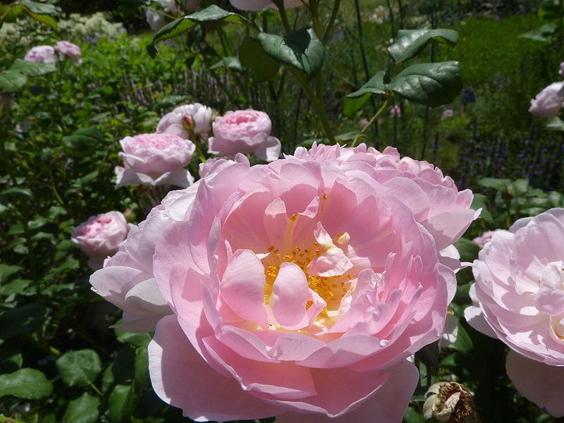 File:Rosa 'Scepter'd Isle' (Rosaceae) flower.JPG