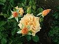 Rosa Lusatia 2019-06-07 1143.jpg