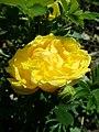 Rosa Persian Yellow 2019-06-03 4453.jpg