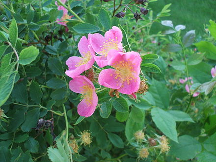 The wild prairie rose Rosa arkansana.jpg