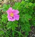 Rosa rugosa inflorescence (01).jpg