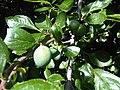 Rosales - Prunus domestica - 7.jpg
