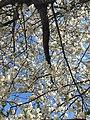 Rosales - Prunus padus - 10.jpg