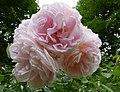 Rosarium Baden Rosa 'Cymbaline' Austin 1982.jpg