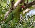 Rose-ringed Parakeet (Psittacula krameri) feeding on Azadirachta indica (Neem) W2 IMG 8122.jpg