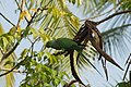 Rose-ringed parakeet 08785.jpg