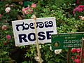 Rose from lalbagh year 2012 - 1646.JPG