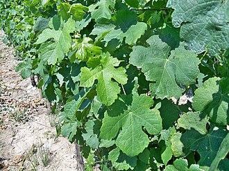 Roussanne - Leaves of Roussanne vines