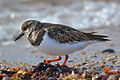 Ruddy Turnstone (Arenaria interpres) (16308700356).jpg