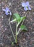 Ruhland, Grenzstr. 3, Hain-Veilchen, Trieb mit Blüten, Frühling, 04.jpg