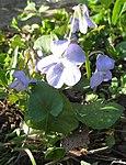 Ruhland, Grenzstr. 3, Hain-Veilchen im Garten, blühende Pflanze, Frühling, 02.jpg