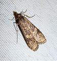 Rush Veneer. Nomophila noctuella - Flickr - gailhampshire.jpg